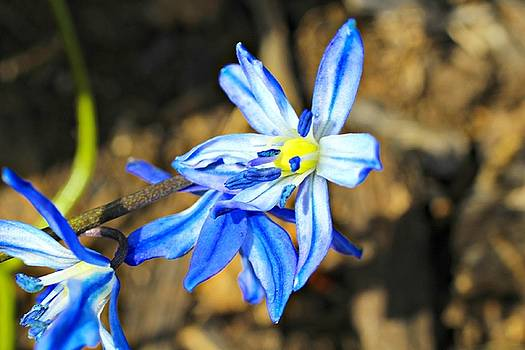 Andrew Davis - Blue Flowers Macro