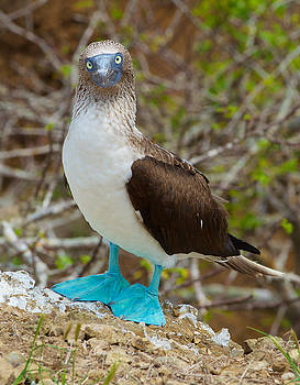 Blue Footed Stare by Richard Espenant