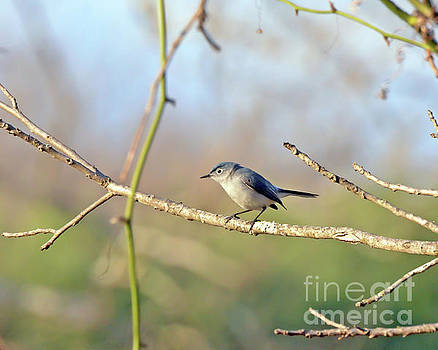 Blue-gray Gnatcatcher by Kerri Farley