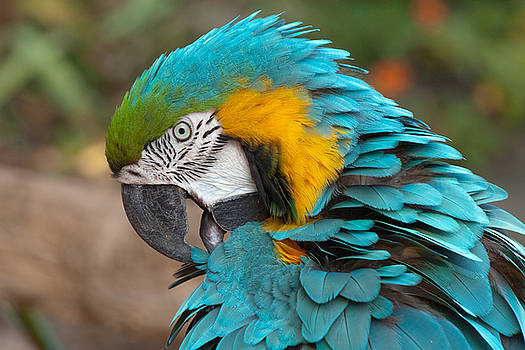 Blue-green-yellow Macaw by Svetlana Ledneva-Schukina