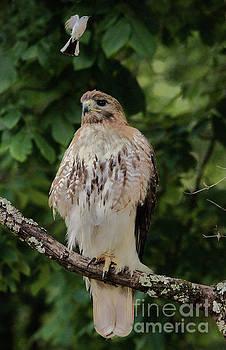 Paulette Thomas - Blue-grey Gnatcatcher Bombing a Hawk