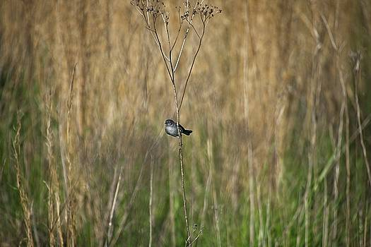 Blue-grey Gnatcatcher by John Benedict