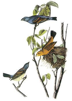 John James Audubon - Blue Grosbeak