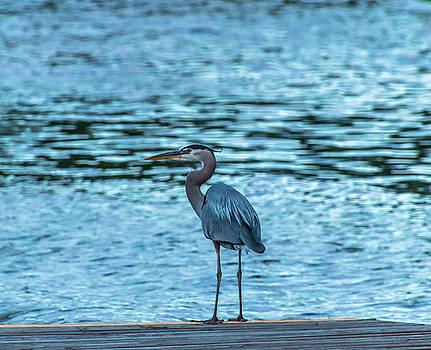 Blue Heron @ Sunrise by Kirk Miller