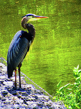 Blue Heron at the Edge in Chattanooga Tennessee  by Ron Tackett