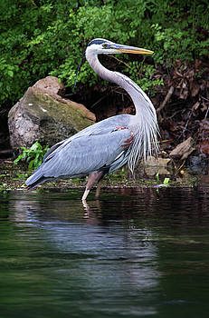 Blue Heron by Bud Simpson