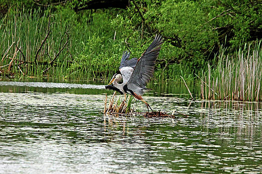 Debbie Oppermann - Blue Heron Catch Of The Day