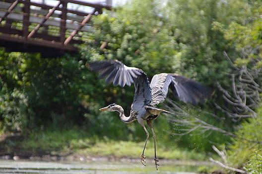 Blue Heron by Erin Clausen