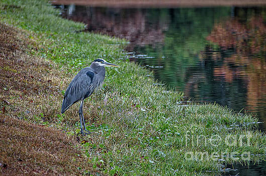Dale Powell - Blue Heron Fall Reflections