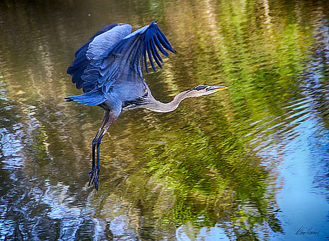 Blue Heron Flying by Diana Haronis