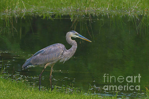 Blue Heron Hunting by Kimberly Blom-Roemer
