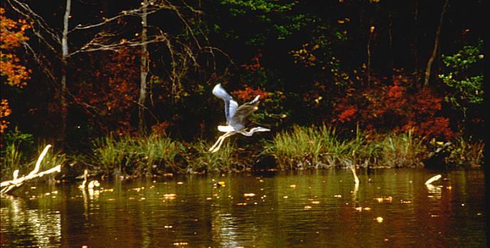 Blue Heron in Flight by Paul Pobiak