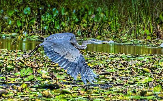 Blue Heron in Flight by Peggy Franz