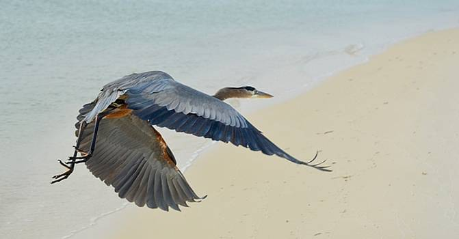 Blue Heron in Flight by Sheila Price