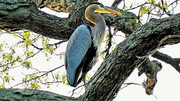 Great Blue Heron in Oak by Jeff Murphy