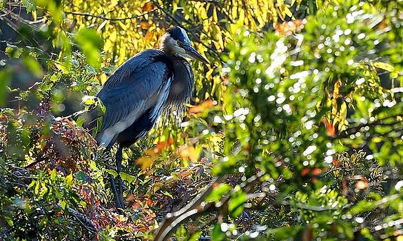 Blue Heron in the Tree by William Bosley