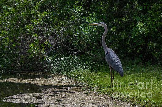 Dale Powell - Blue Heron in Wetlands of SC