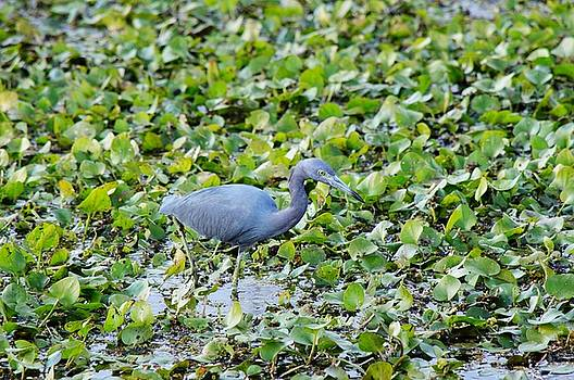 Blue Heron by Joseph Caban