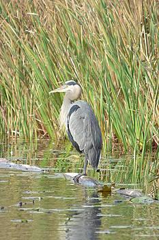 Blue Heron of Mill Lake Returns by Nicki Bennett