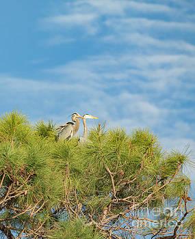 Blue Heron Pair In Tree Top Nest by Edie Ann Mendenhall