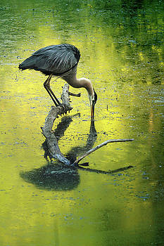 Blue Heron Reflection by Rob Blair