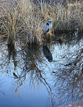 Blue heron. by Robert Rodda