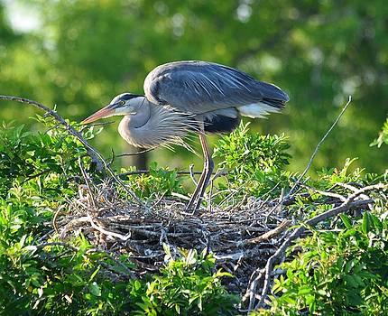 Patricia Twardzik - Blue Heron Roosting