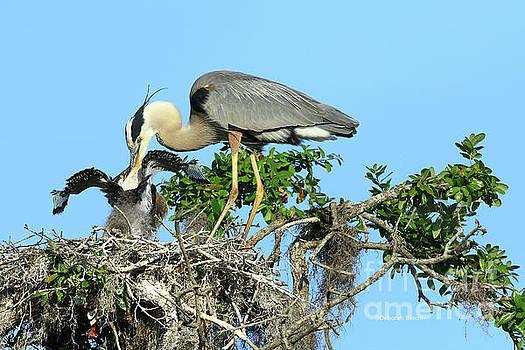 Blue Heron Series Feeding by Deborah Benoit