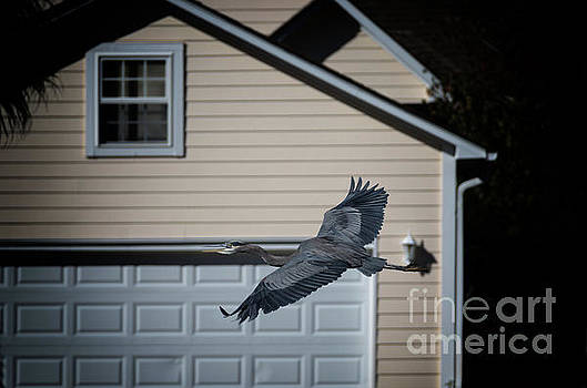 Blue Heron Soaring by Dale Powell