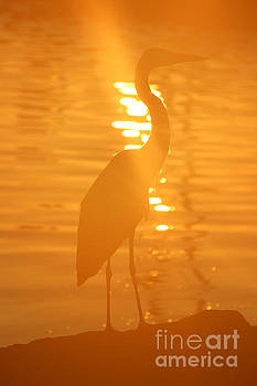 Blue Heron Sunrise by Rachel Morrison