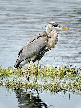 Blue Heron by William Albanese Sr