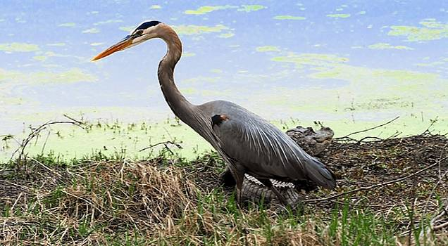 Blue Heron with death wish by William Bosley
