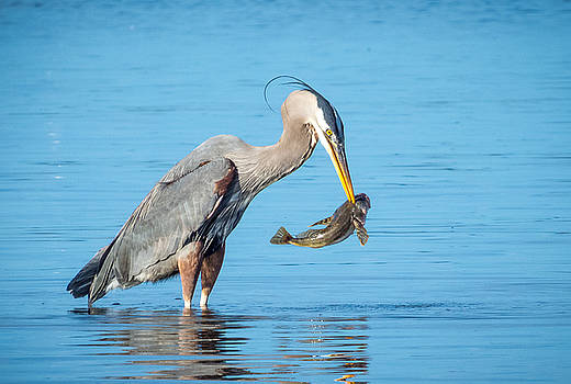 Blue Herons Catch of The Day #1 by Kristal Talbot