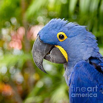 Blue Hyacinth Macaw by Sharon Mau