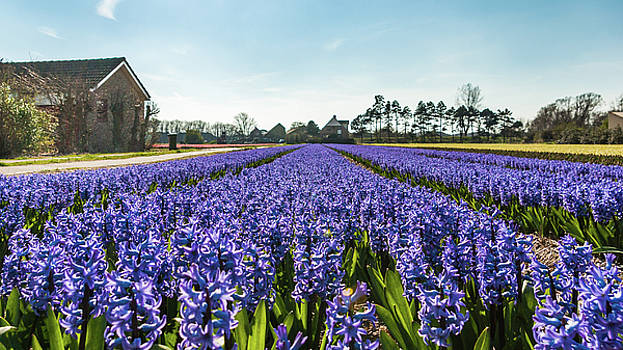Blue Hyacinths flowerfield and farm houses by Steppeland -
