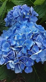 Blue Hydrangea 1 by Tammy Finnegan