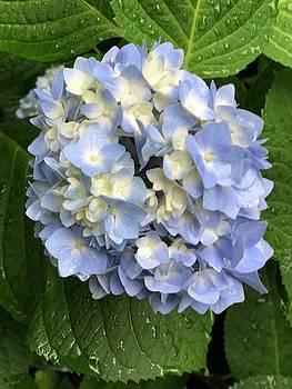 Blue Hydrangea by Betsy Cullen
