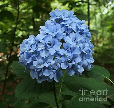 Blue Hydrangea by Lynn Jackson