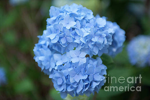 Dale Powell - Blue Hydrangea Petals