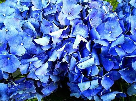 Scarlett Royal - Blue Hydrangea