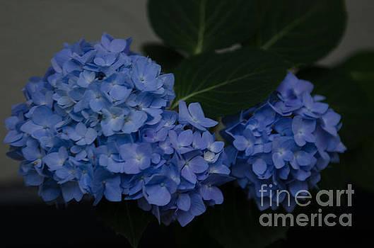 Dale Powell - Blue Hydrangea