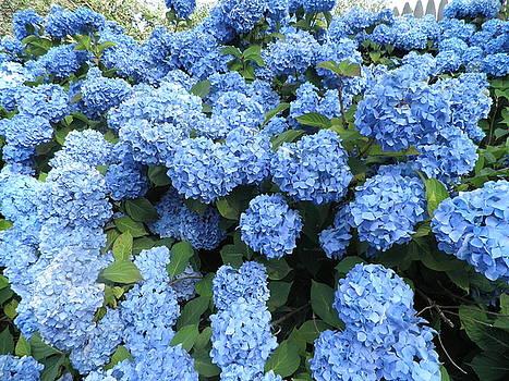 Blue Hydrangeas by Kate Gallagher