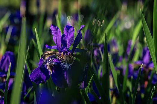 Blue iris field  by Sven Brogren