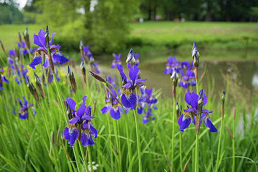 Blue Iris Flowers by Hans Engbers