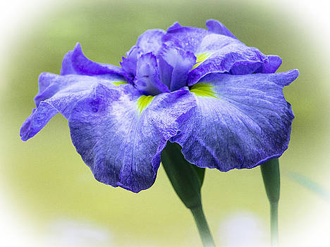 Venetia Featherstone-Witty - Blue Iris