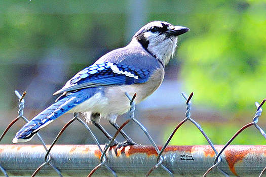 Blue Jay by Bill Perry