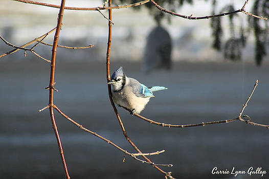 Blue Jay by Carrie Gallop