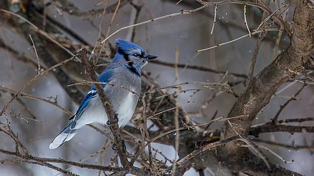 Dan Traun - Blue Jay