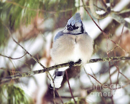 Blue Jay - Fat and Fluffy  by Kerri Farley