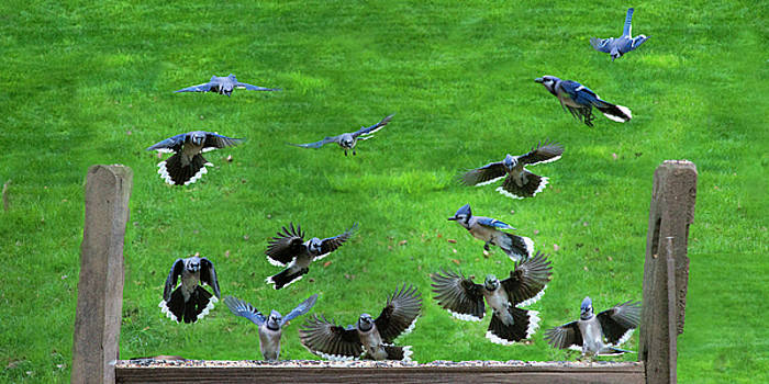 Blue Jay fly in by Dan Friend